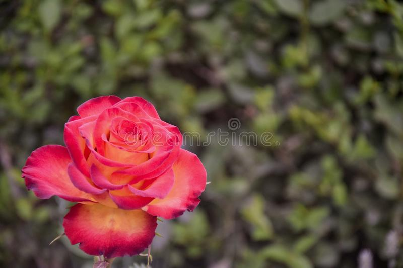 One blooming rose in the garden in the afternoon on blurred background of soil with green grass.  Flower in vibrant pink and stock images