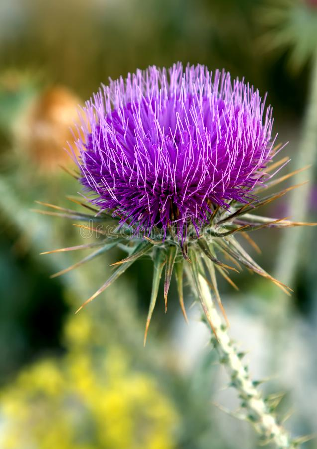 Thistle growing in the mountains of Turkey royalty free stock image