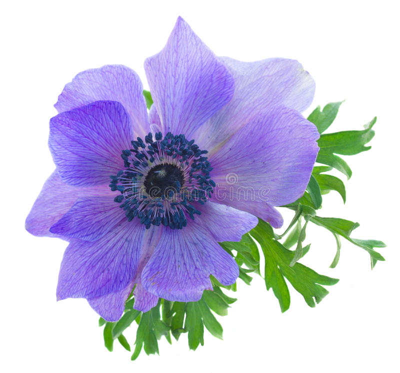 One blue anemone flower. Isolated on white background stock photography