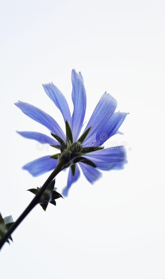 Blue flower with white background. One blue flower with white background royalty free stock images