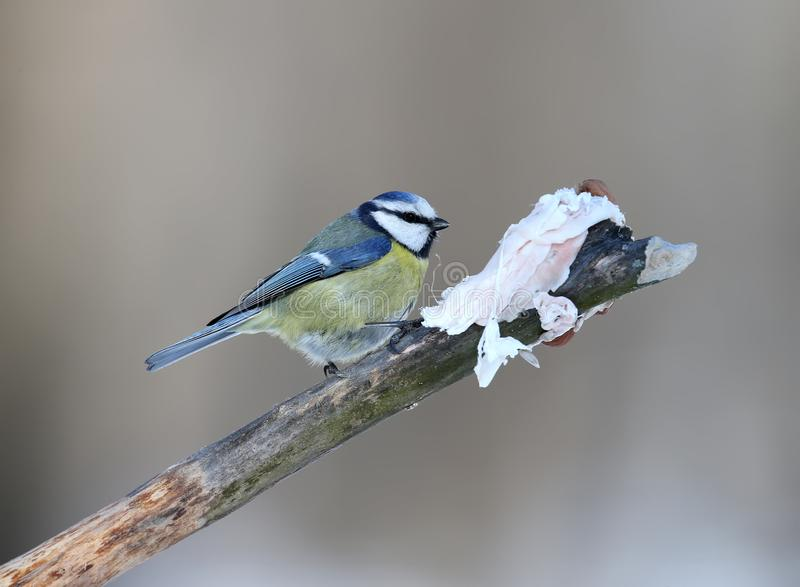 One blue tits sits on a branch stock images