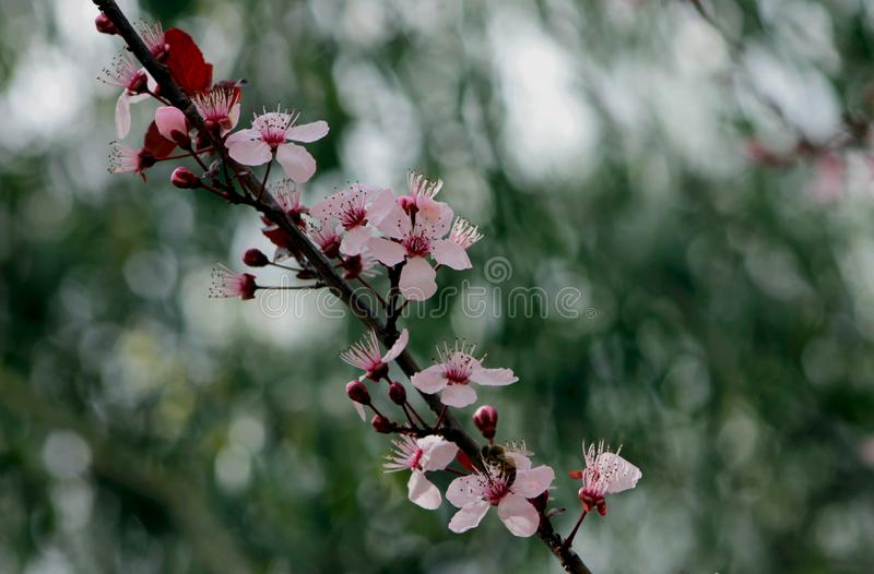 Flowers of Purple leaf Plum tree. One branch of flowers of the purple leaf plum tree. Purple-leaf plum trees, also called cherry plums or flowering plum trees stock image