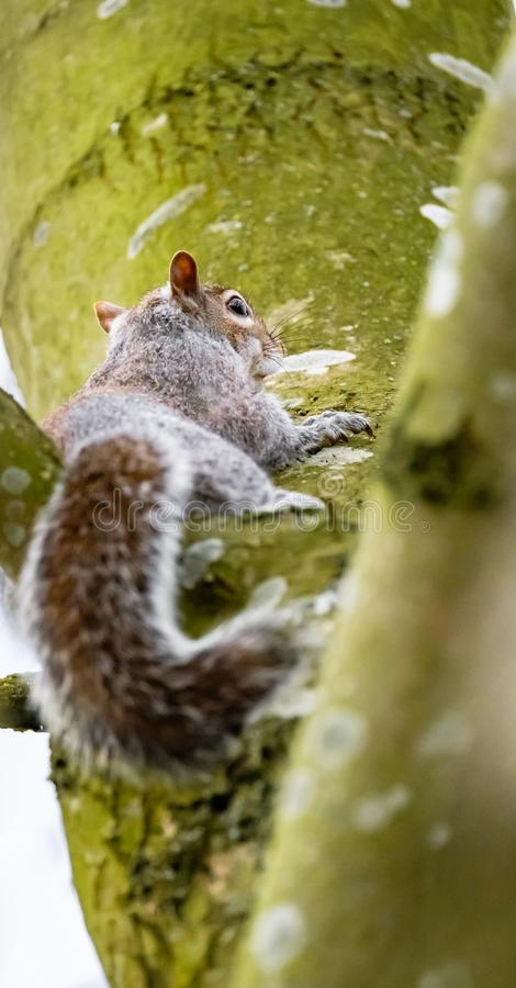Adult female Grey Squirrel seen watching, seen near its drey on a large tree. One of a breeding pair, this Grey Squirrel is seen starring at the photography royalty free stock photography