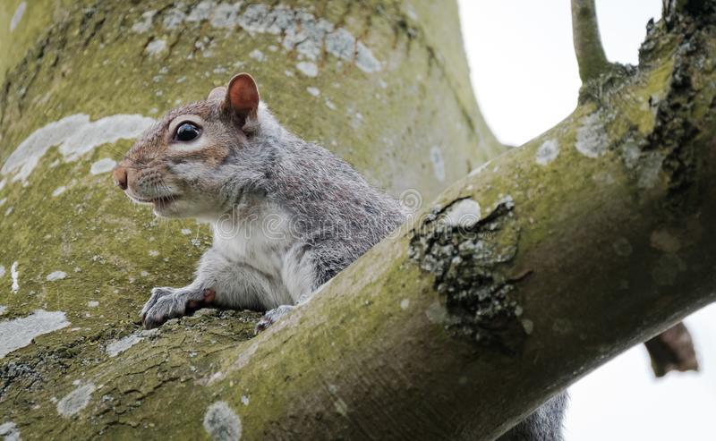 Adult female Grey Squirrel seen watching, seen near its drey on a large tree. One of a breeding pair, this Grey Squirrel is seen starring at the photography stock photo