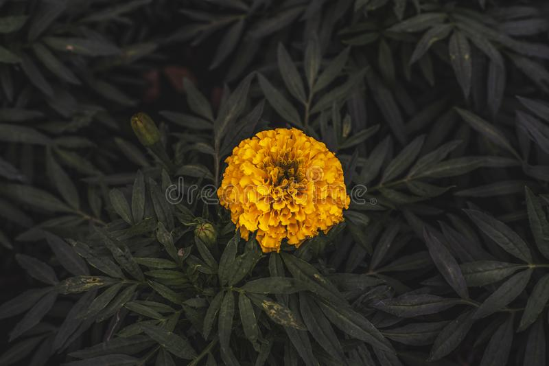one Bright yellow marigold flowers for copy space royalty free stock image