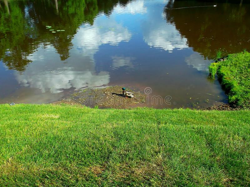 One brooding Drake. Reflection of trees and sky in the water. Green grass stock photos