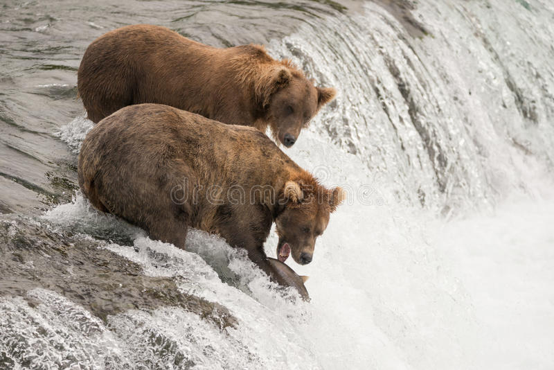 One brown bear beside another catches salmon stock image
