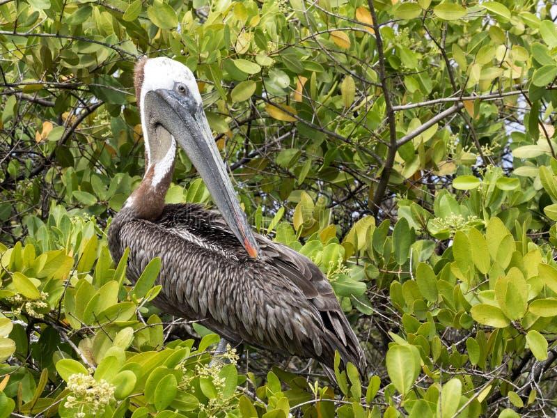 Brown Pelican, Pelecanus occidentalis urinator, resting on mangrove vegetation Galapagos, Santa Cruz, Ecuador. One Brown Pelican, Pelecanus occidentalis royalty free stock photos