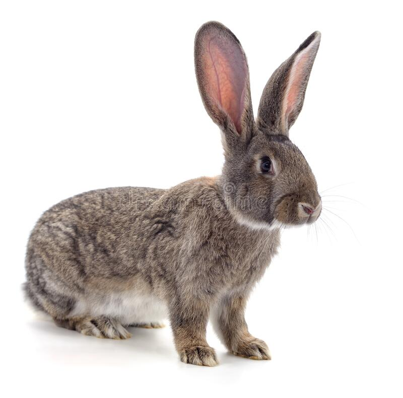 One brown rabbit. Isolated on a white background stock photography