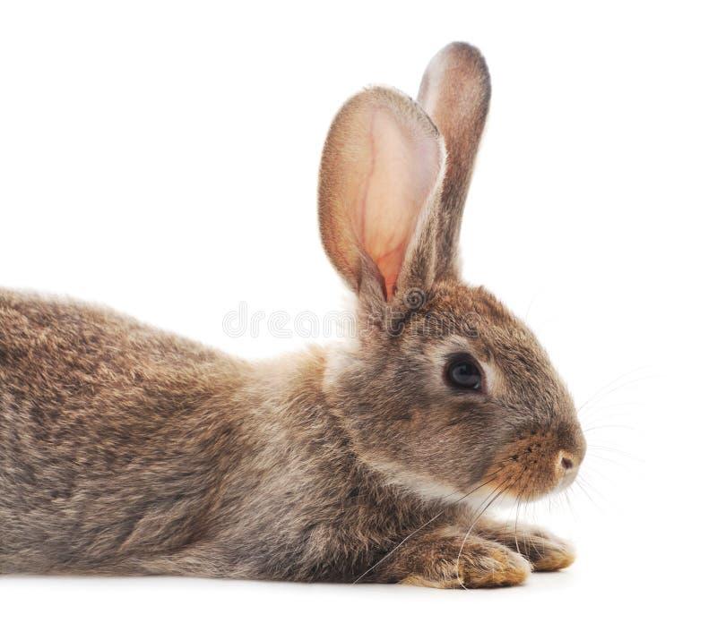 One brown rabbit stock photos