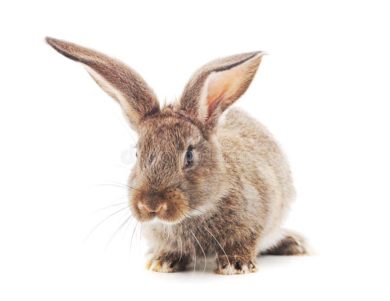 One brown rabbit royalty free stock photos