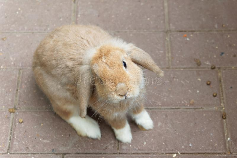 One brown rabbit on a brown paving slab background. stock image