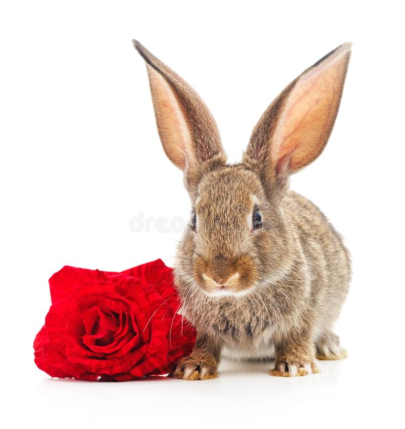 Brown rabbit with a rose. One brown rabbit with a rose isolated on a white background royalty free stock images