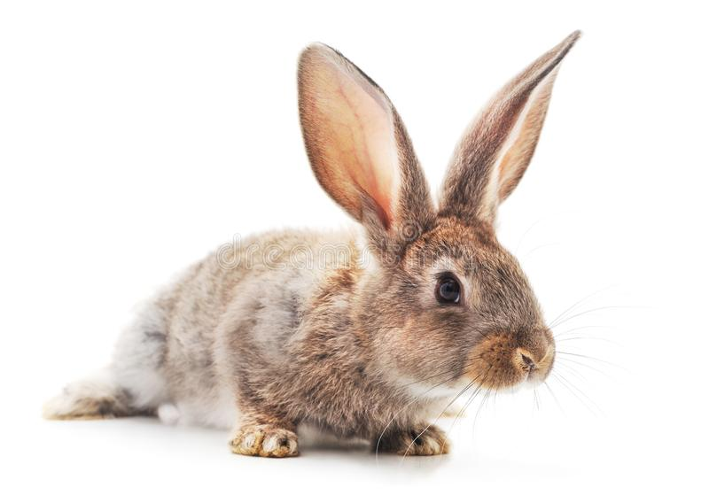 One brown rabbit royalty free stock image