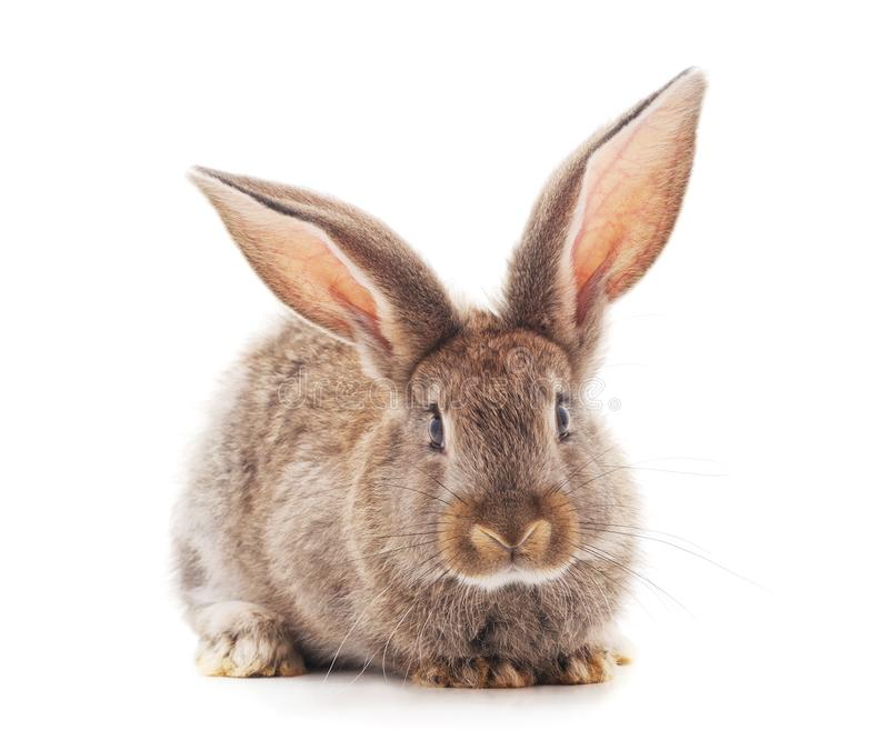 One brown rabbit stock images