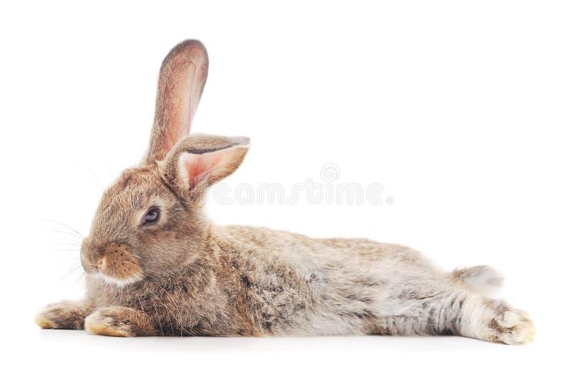 One brown rabbit stock photo