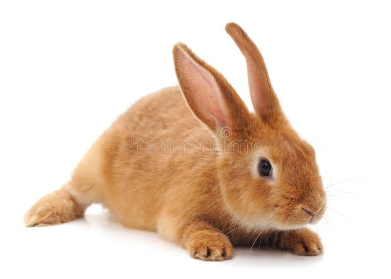 One brown rabbit. stock image