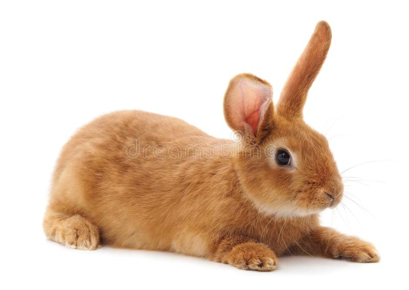 One brown rabbit royalty free stock images