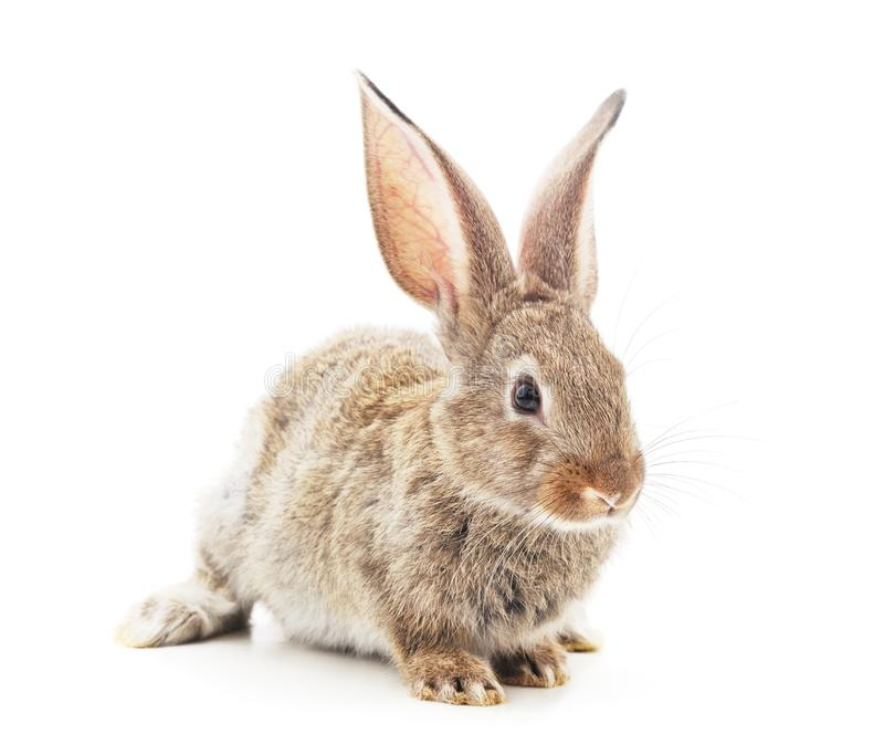 One brown rabbit royalty free stock photography