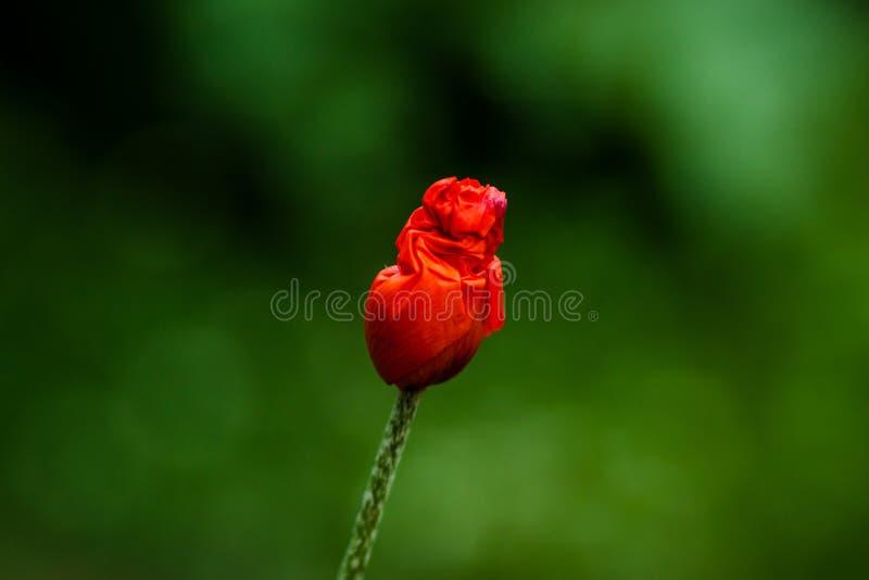 One Bud of red poppy stock photos