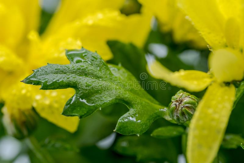 Macro photography of a fresh, springtime yellow flower arrangement seen after a heavy downpour. stock images