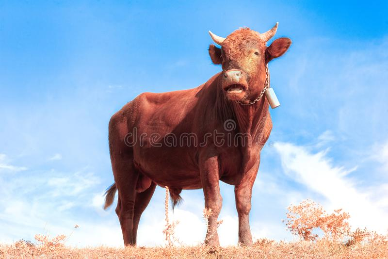 One bull standing against blue sky stock photography