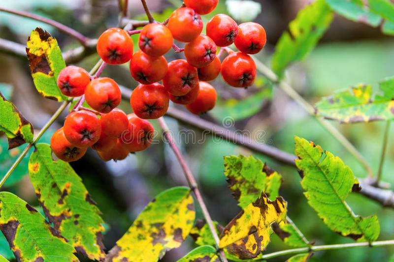 Bunch of a wild ripe mountain ash. One bunch of berries of a wild ripe red mountain ash closeup in the foreground stock images