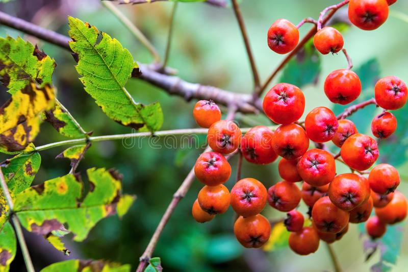 Bunch of a wild ripe mountain ash. One bunch of berries of a wild ripe red mountain ash closeup in the foreground stock photography