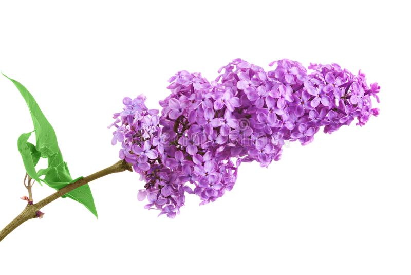 One bunch of purple lilacs on a white background with leaves stock image