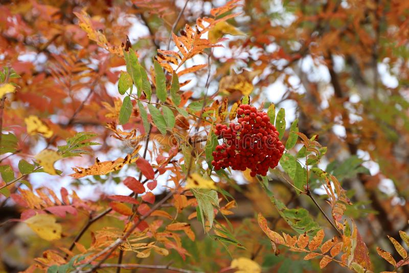 One bunch of ripe mountain ash. One bunch of ripe mountain ash on a blurred background of autumn foliage royalty free stock photos