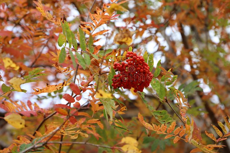 One bunch of ripe mountain ash. One bunch of ripe mountain ash on a blurred background of autumn foliage royalty free stock image