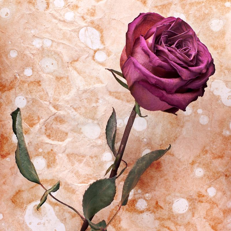 One burgundy rose flower on painted crumpled aged paper background close up, holiday invitation or greeting card design royalty free stock photos