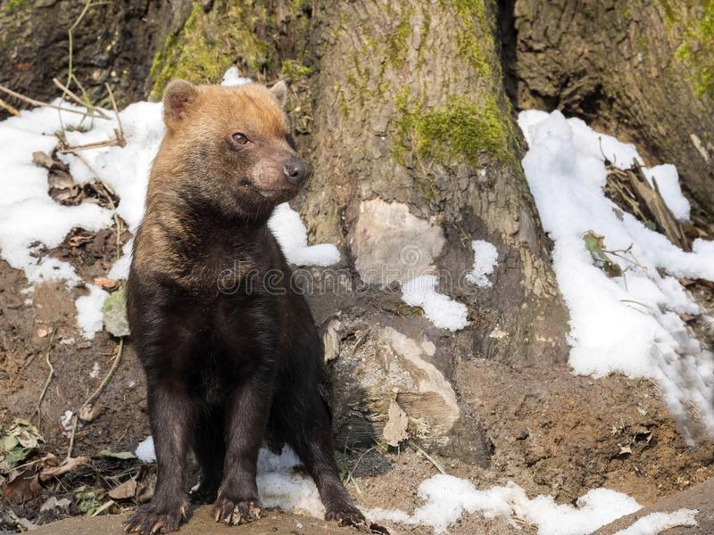 Bush dog, Speothos venaticus, looks around royalty free stock image