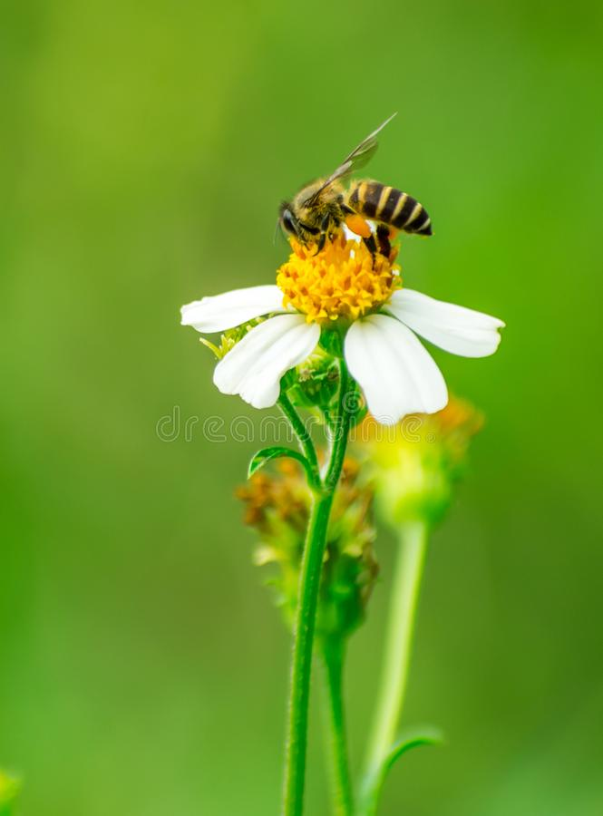 One busy bee staying and collecting nectar on white flower royalty free stock images