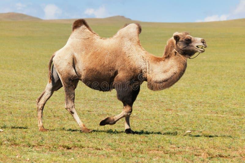 One camel in mongolia stock photos