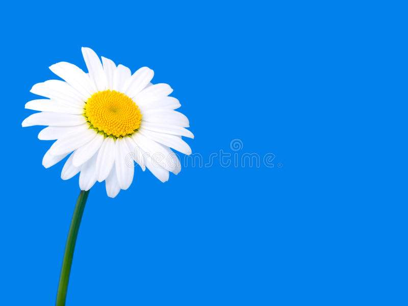 One camomile on blue royalty free stock photography
