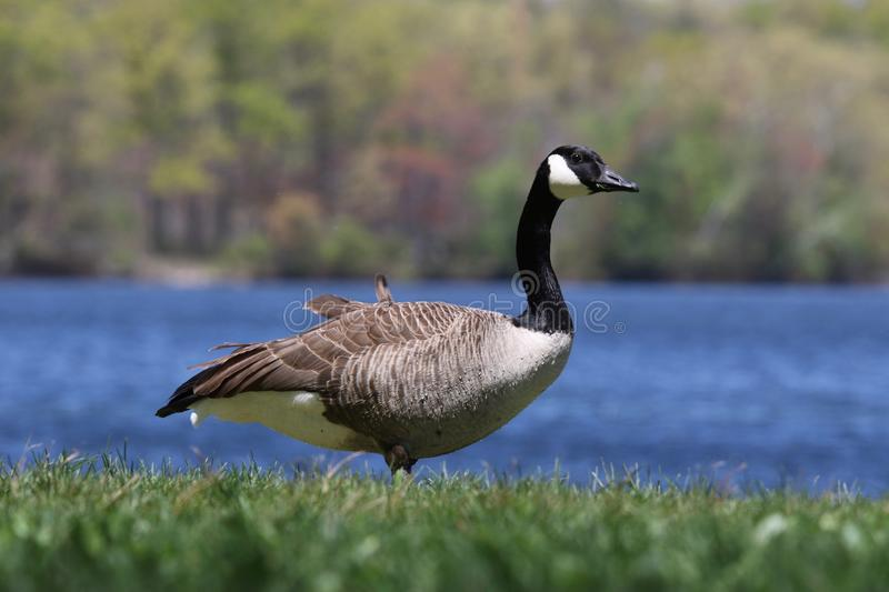 One Canada Goose Standing by a Pond in Summer stock images