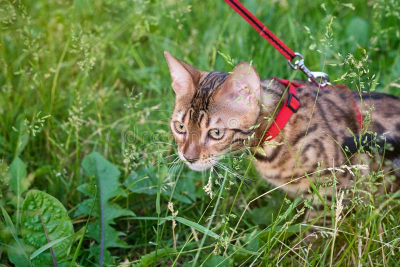 One cat bengal walks on the green grass. Bengal kitty learns to walk along the forest. Asian leopard cat tries to hide royalty free stock images