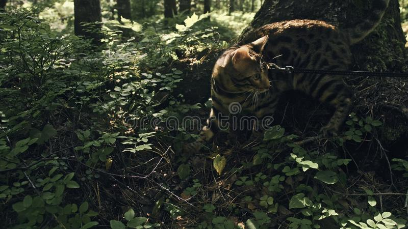 One cat in a city park. Bengal wildcat walk on the forest in collar. Asian Jungle Cat or Swamp or Reed. Domesticated. Leopard cat hiding, hunting and playing in royalty free stock image