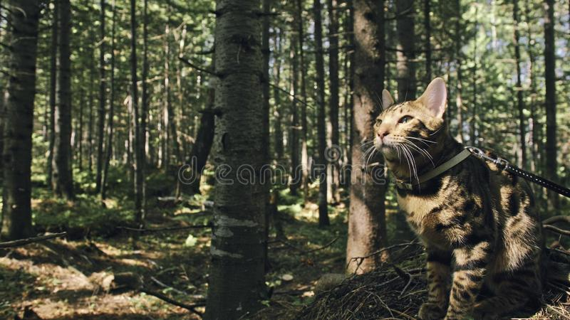 One cat in a city park. Bengal wildcat walk on the forest in collar. Asian Jungle Cat or Swamp or Reed. Domesticated. Leopard cat hiding, hunting and playing in royalty free stock images