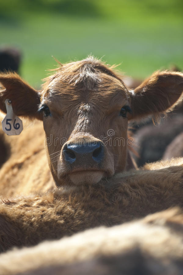One cattle. In a herd looking curiously at the camera royalty free stock photo