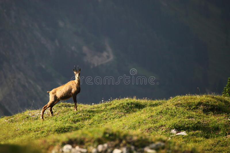 Download One Chamois Royalty Free Stock Images - Image: 26249629