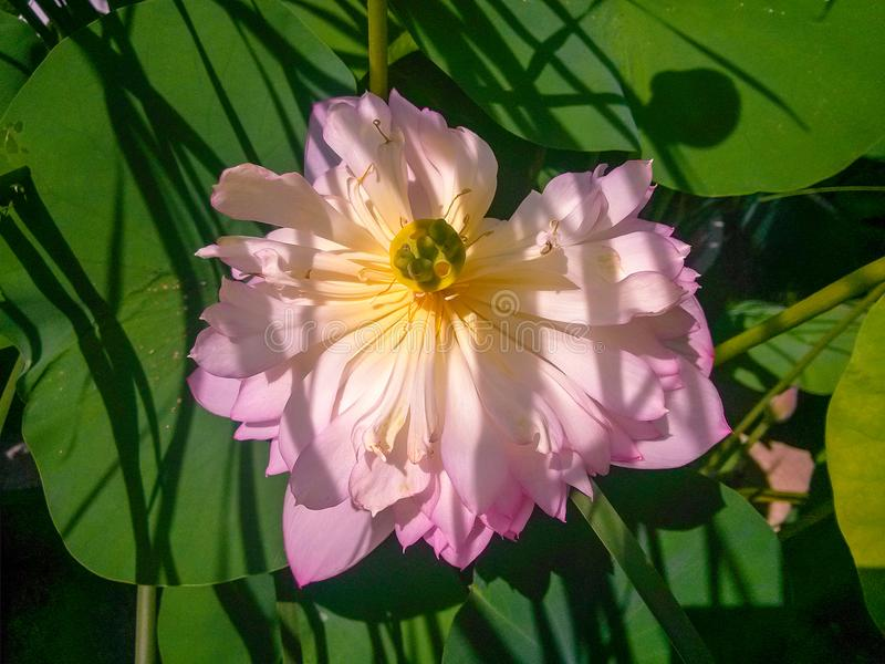 The beautiful lotus of honghu park. One of the characteristics of honghu park is the lotus flower. One of the characteristics of honghu park is the lotus flower stock images