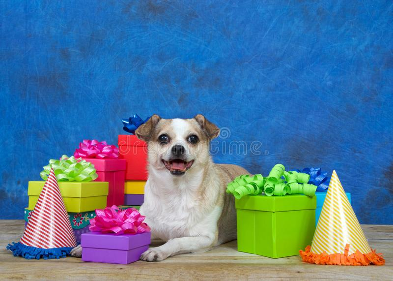 Happy chihuahua dog laying in a party setting royalty free stock photos