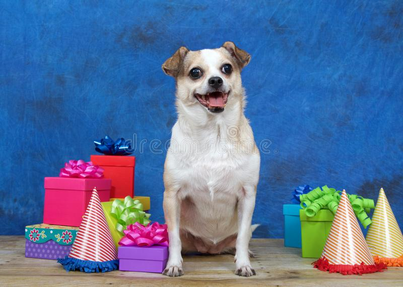 Good Chihuahua Chubby Adorable Dog - one-chubby-chihuahua-wood-floor-surrounded-colorful-birthday-presents-party-hats-mouth-open-as-if-smiling-viewer-110988287  Graphic_944179  .jpg