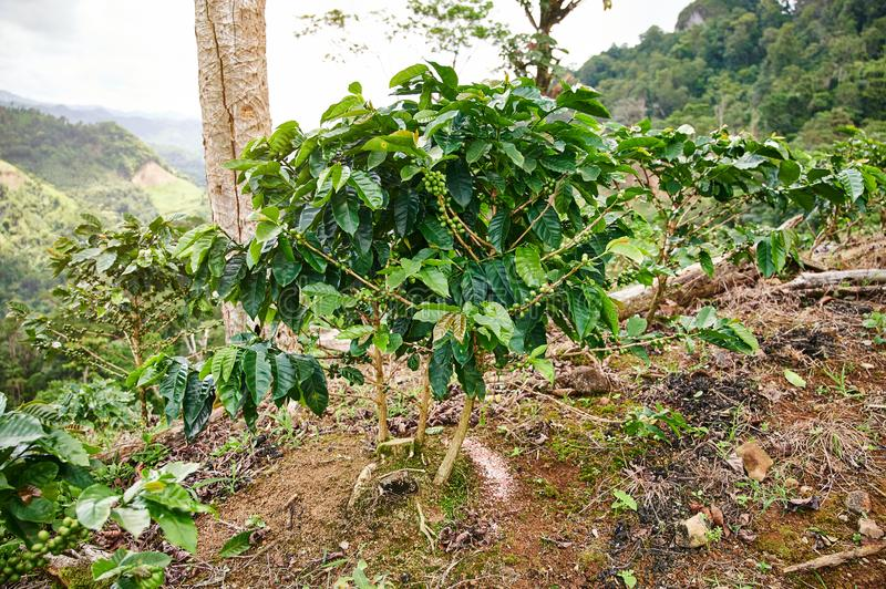 One coffee tree on top of hill. In mountain beautiful background stock photos