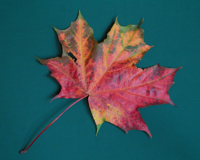 One colorful fallen maple leaf on blue-green background royalty free stock image