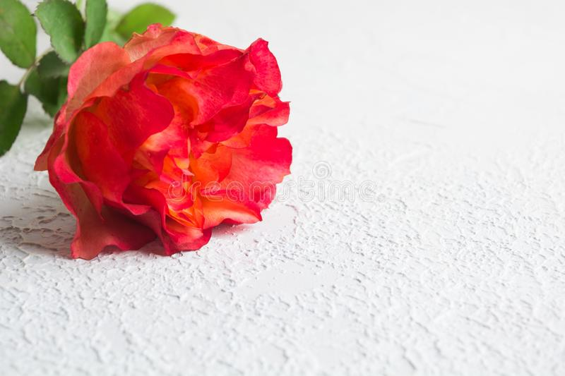 One colorful pink rose over white textured concrete background with copy space royalty free stock photography