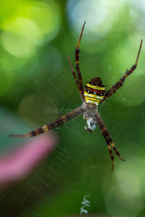 St Andrews Cross Spiders stock image