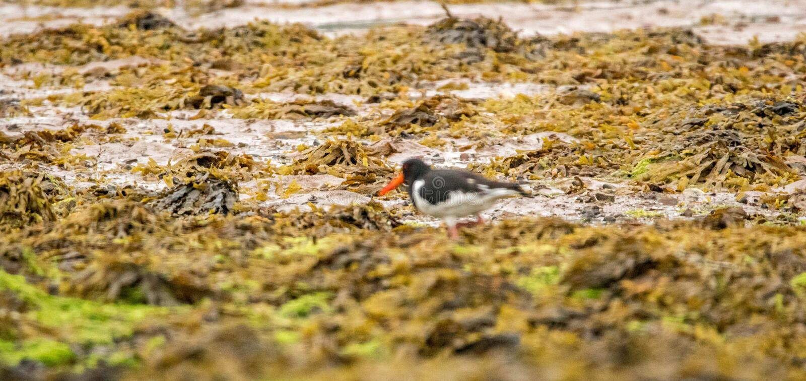 Oyster Catcher. One of the common bird types in the UK coastlines, the Oyster Catcher stock images